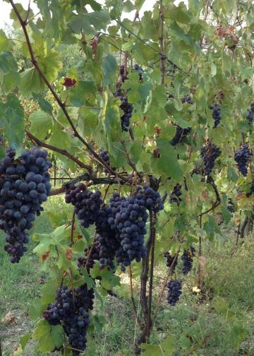 La Rocca Vineyards B&B Viticulture...from vines to wine